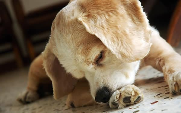 Why Do Dogs Lick their Paws and How Can I Stop It