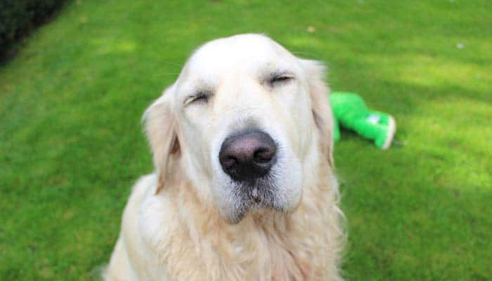 What Does It Mean If A Dog Can't Keep Eyes Open