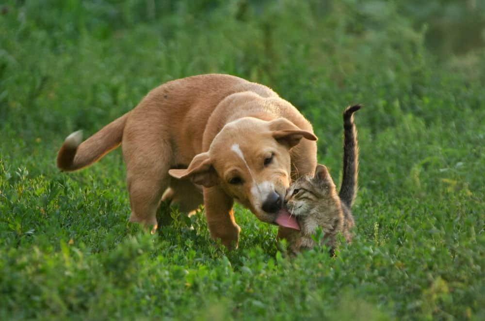 HOW DO I GET MY DOG TO STOP LICKING MY CATS?