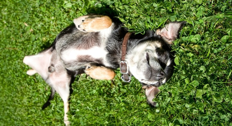 Why Do Dogs Roll In Grass All The Time?