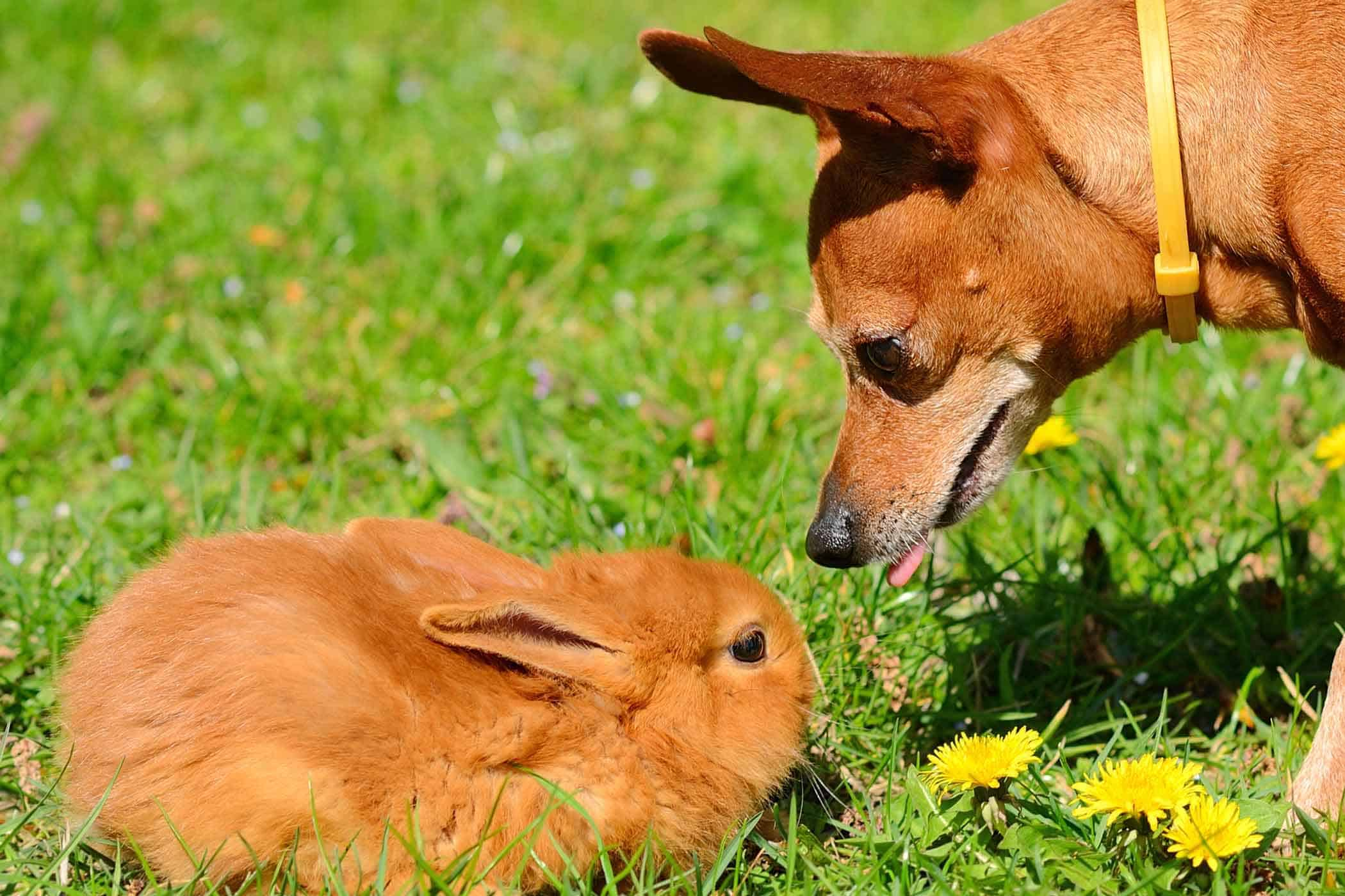Dog Chasing Rabbits: What To Do