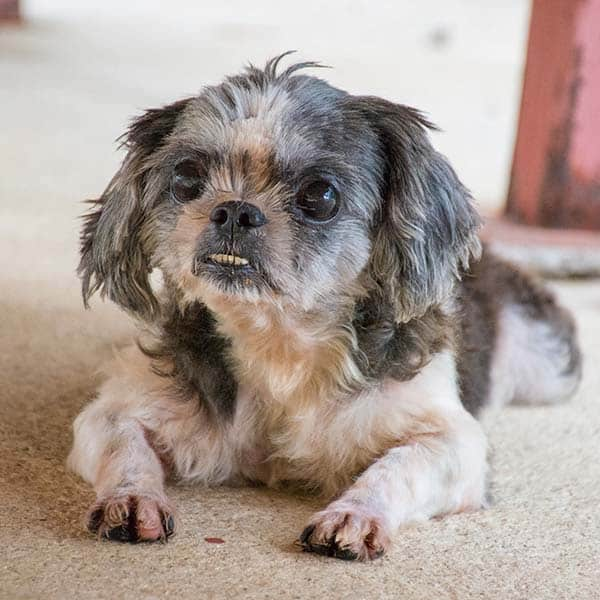 Shih Tzu Underbite: All You Need To Know
