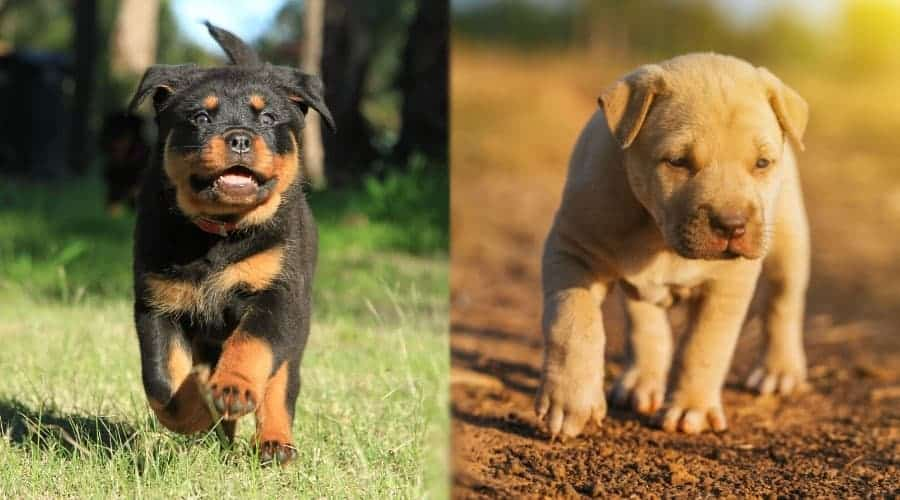 Rottweiler Vs Pitbull: Similarities And Differences.