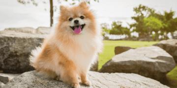How Long Do Pomeranians Live