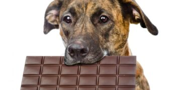 How Much Chocolate Will Kill A Dog